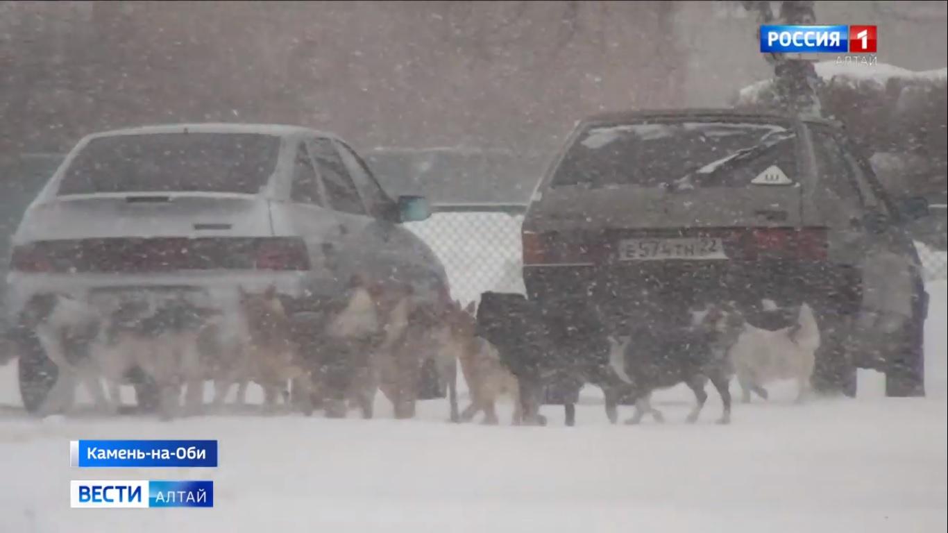 Жители Камня-на-Оби заявили нападении стаи бродячих собак детей