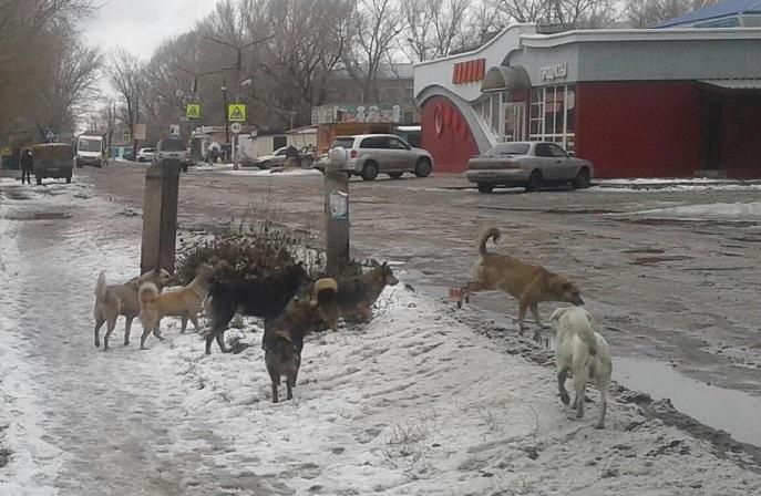 Школы Рубцовска попали окружение агрессивных рычащих стай бездомных собак