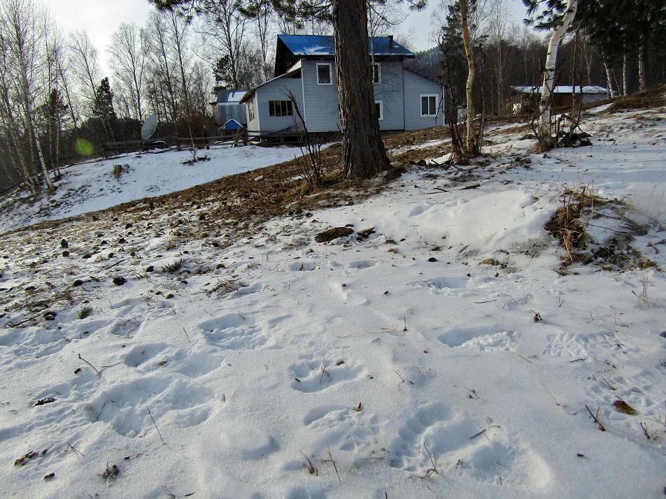 В алтайском поселке перенесли школьные занятия из-за бродящего округе шального медведя