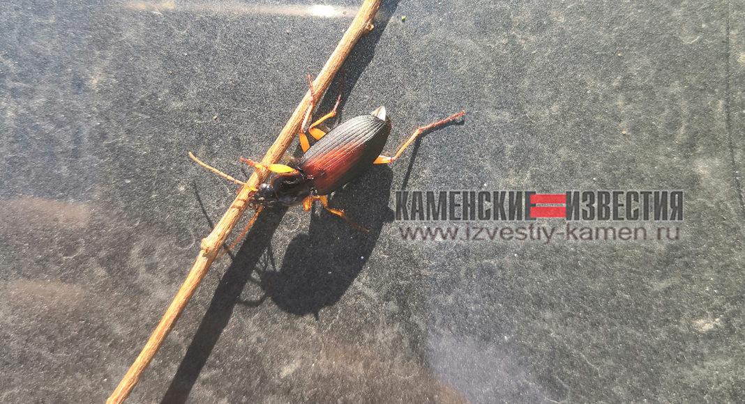 Жители Камня-на-Оби жалуются нашествие жалящих кислотой жуков