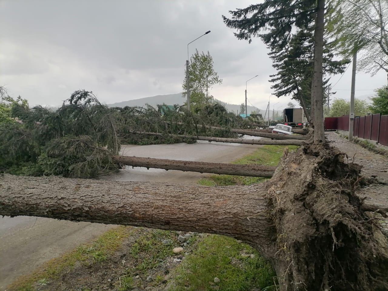 Ураганный ветер уложил аллею деревьев дорогу алтайском селе