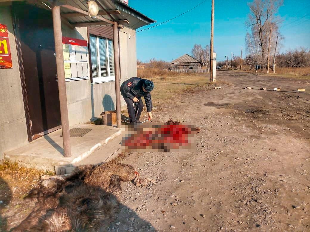 Неизвестные пытаются запугать егеря алтайского заказника окровавленными шкурами убитых лосей